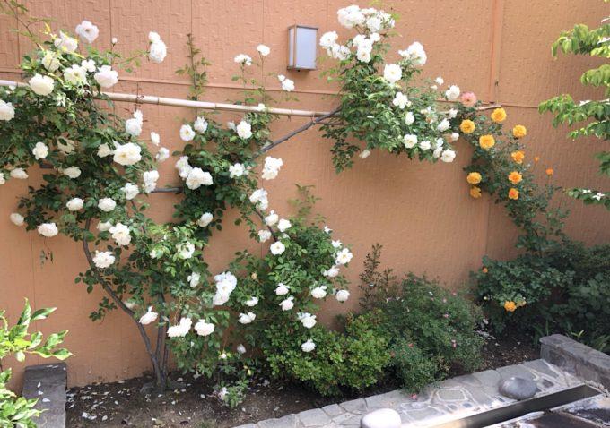 露天に咲くバラを眺めての温泉!