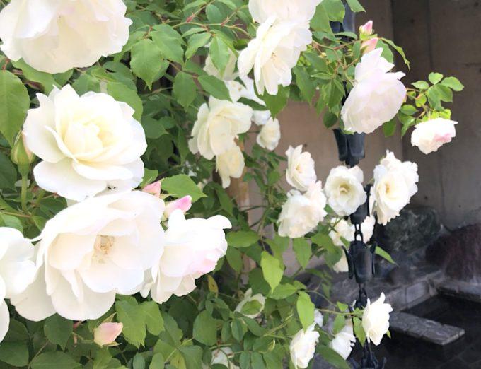 男湯のバラは寝湯の近くに